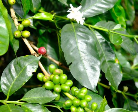 Café Comam - Finca del Bosque