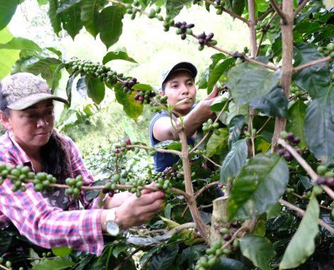 Kaffee Ernte auf der Finca